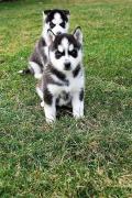 Blue Eyes Husky puppies
