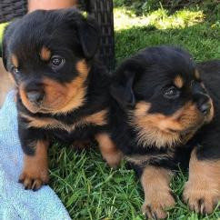 2 Rottweiler puppies