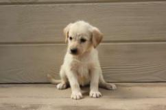 Sweet Labrador Puppies for re homing