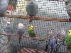Budgies love birds