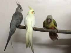 Full Tamed Cockatiel Chicks, African Grey Parrot, Sun Conures in Nagpur