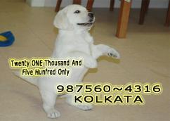 Imported Quality LABRADOR Dogs