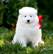Excellent quality Samoyed puppies