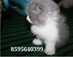 Triple Fur coated Persian Kittens and Cats are available