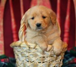 Golden Retrievers and Labrador puppies for humble home