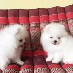 Top Quality Registered Pomeranian fr re homing