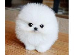 Top Quality Registered Pomeranian for re homing