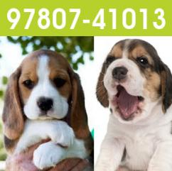 Beagle pups in Chandigarh