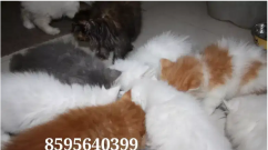 Loving Active Persian Kittens and Cats