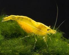Aquarium shrimps(yellow and orange)