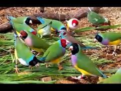 Pet bird gouldian finches