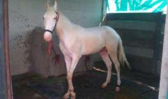 WHITE MALE 18 MONTHS HORSE