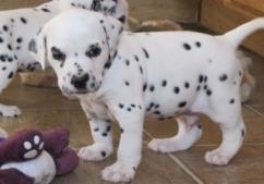 Dalmitian puppies