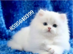 Fluffy Clever Persian Kittens and Cats