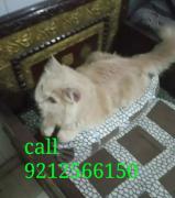 Persians cats