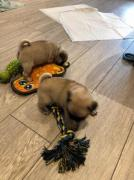 Beautiful and Healthy male and female pug