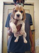 Beagle female pups
