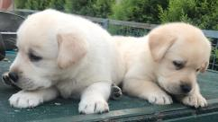 Healthy and Purebred Puppies