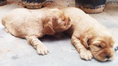 English Cocker Spaniel with TAIL GOLDEN puppies