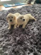 Golden Retriever Puppies and Labrador