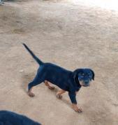 Rottweiler female puppy