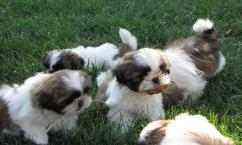 KCI Registered Shih tzu puppies