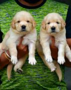 awesome quality Golden retriever Puppies available