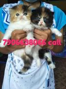 7906638066 call or watsapp Persian cat kitten for sale in  gurgaon