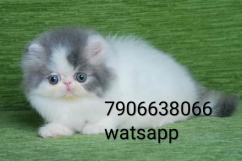 persian kitten for sale in delhi
