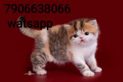 persian kitten for sale in ghaziabad