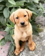 Sweet and Cute Continental golden retriever puppy