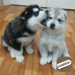 Affectionate Top AKC TCup Pomeranian Puppies