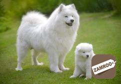 Champion lineup Samoyed puppis