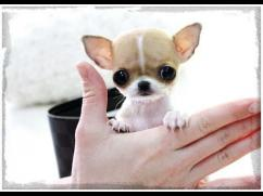 T CUP chihuahua Puppies