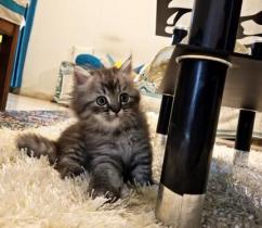 Pure Quality Persian for sale