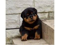 New Born Pomerian  Puppies
