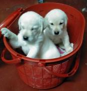 Male and female lab for adoption