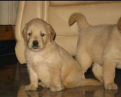 Complete pedigree golden retriever puppy