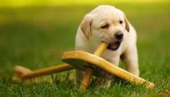 Best quality Labrador Retriever puppy