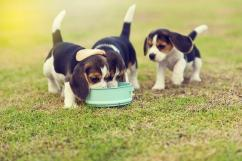 Best quality Beagle puppies
