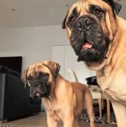 Pure breed bull mastiff puppies