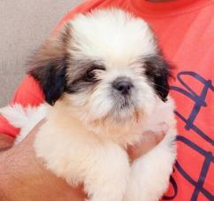 Shihtzu pups available