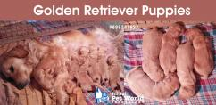 Golden Retriever puppies in Chandigarh & Punjab