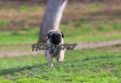Very adorable wrinkle face pug puppies