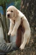 Top import quality labrador punch face puppies