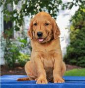 Pure Breed Full Pedigree Golden Retriever lab and Husky Pup
