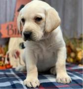 Very Sweet Charming Golden retriever and Labrador Puppies