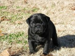 Black Pug Pups For sale
