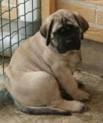 Excellent quality English Mastiff puppies
