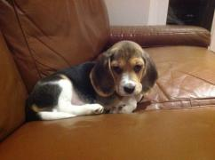 Males and females Beagle for good homes